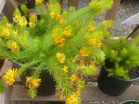 persoonia-chamaepitys_geebung