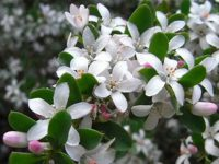 Philotheca myoporoides fairy waxflower 'Bournda Beauty'