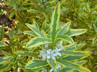 Philotheca myoporoides 'Moon Shadow' - wax flower