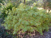 Philotheca myoporoides 'Moon Shadow' - wax flower is a hardy Australian Native
