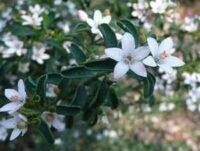 philotheca_star-flower_flower-girl