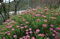 Pimelea ferruginea rice flower 'Pink Solitaire'