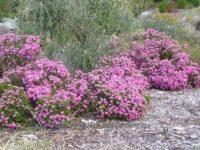 Pimelea ferruginea rice flower 'Magenta Mist'
