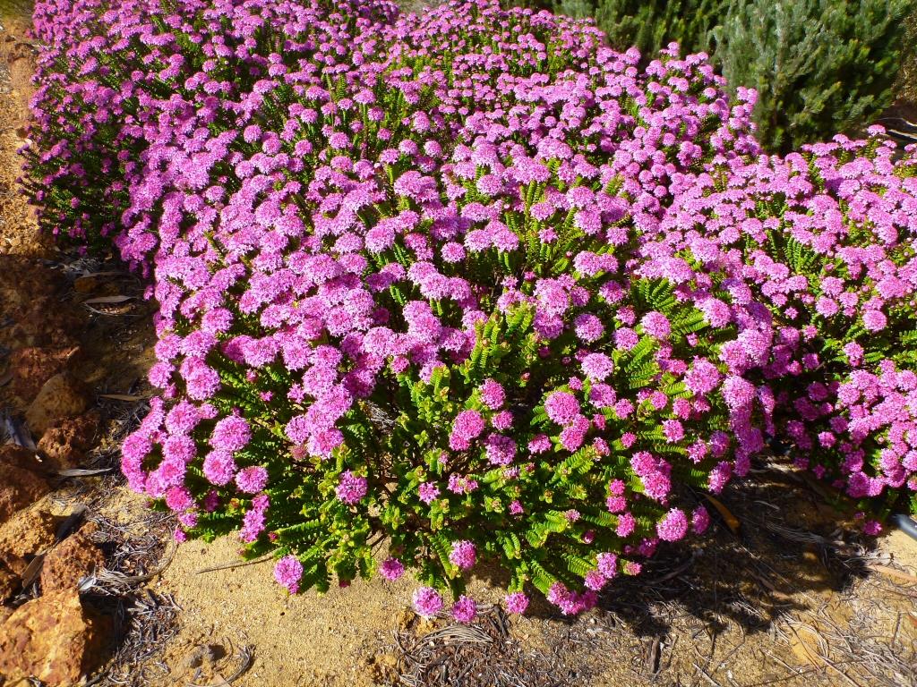 Pimelea ferruginea magenta mist rice flower - Arbustos con flores ...