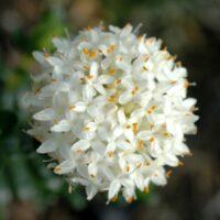 Pimelea ferruginea rice flower 'White Solitaire'