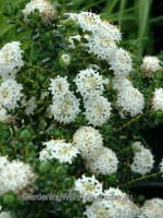 Pimelea ferruginea rice flower 'White Solitaire'