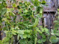 pisum-sativum_garden-peas-greenfeast