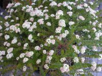 Platysace lanceolata 'Edna Walling Flower Girl'