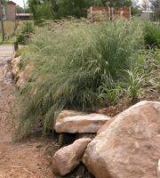 Poa labillardieri tussock grass 'Eskdale'