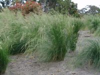 Poa poiformis tussock grass 'Kingsdale'