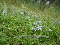 Pratia pedunculata - trailing pratia-
