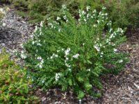 Prostanthera cuneatus-mint bush- 'Cool Mint'