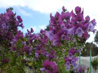 Prostanthera magnifica - magnificent mint bush
