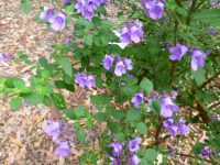 Prostanthera ovalifolia - mint bush