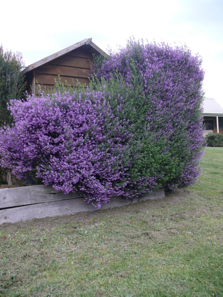 Shrubs with purple flowers pictures - Prostanthera Sieberi Mint Bush Minty