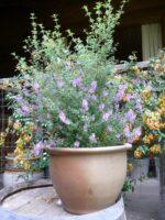 Prostanthera sieberi mint bush 'Minty'