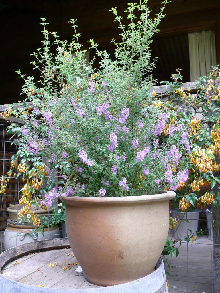Garden Bush: Prostanthera 'Minty' Native – Mint Bush