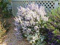 Prostanthera-x-lasianthus mint bush 'Poorinda Ballerina'