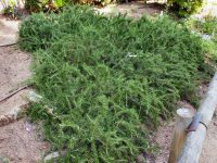 Prostrate rosemary is a great groundcover plant