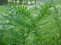 Prumnopitys ladei - Mount Spurgeon black pine