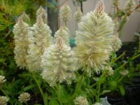 Ptilotus nobilis lambs tails 'Outback Princess Purity'