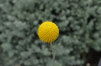 Pycnosorus globosus - billy buttons has spectacular globe flowers