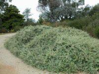 Rhagodia spinescens 'Silver Border'