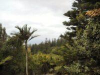Rhapalostylis baueri - Norfolk Island palm or nikau