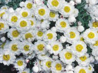 Rhodanthe anthemoides chamomile sunray 'Paper Baby'