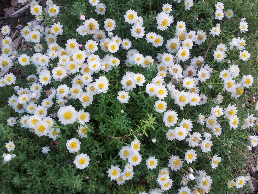 Rhodanthe Anthemoides Chamomile Sunray Gardening With