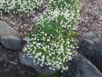 Rhodanthe anthemoides - everlasting sunray
