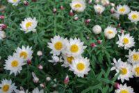 Rhodanthe anthemoides sunray daisy 'Sunray Snow'