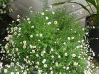Rhodanthe anthemoides paper daisy 'Southern Stars'