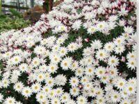 Rhodanthe anthemoides sunray daisy 'Paper Cascade'