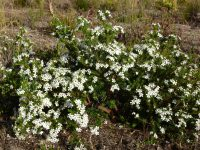 Ricinocarpos cyanescens - little wedding bush
