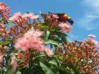 rosella on nectar rich corymbia-flowers