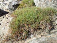 Sarcocornia quinqueflora - samphire