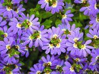 Scaevola aemula fan flower 'Aussie Crawl'