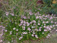 Scaevola aemula fan flower 'Bombay Pink'