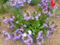 Scaevola aemula fan flower 'Purple Fanfare'