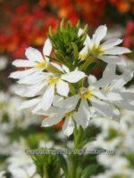 Scaevola aemula fan flower 'White Wonder'
