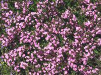 Scaevola albida fan flower 'Karwarra Pink'