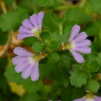 Scaevola albida fan flower 'Mauve Carpet'