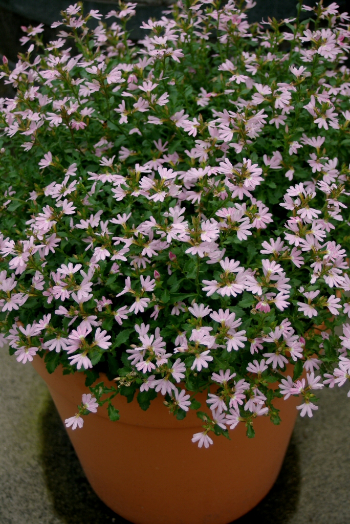 Best Australian Native Plants For Pots And Containers