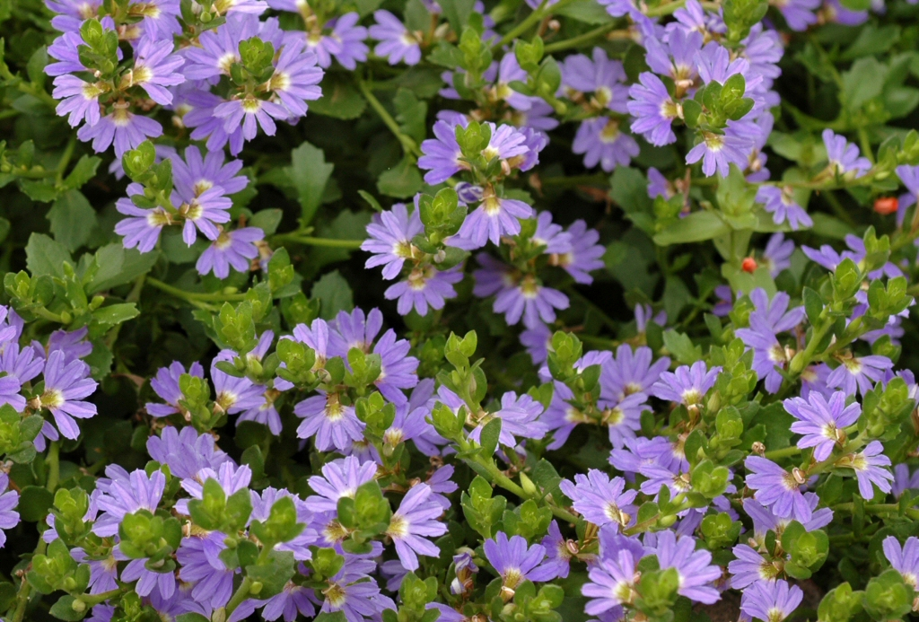 Scaevola Super Clusters Fan Flower Gardening With Angus