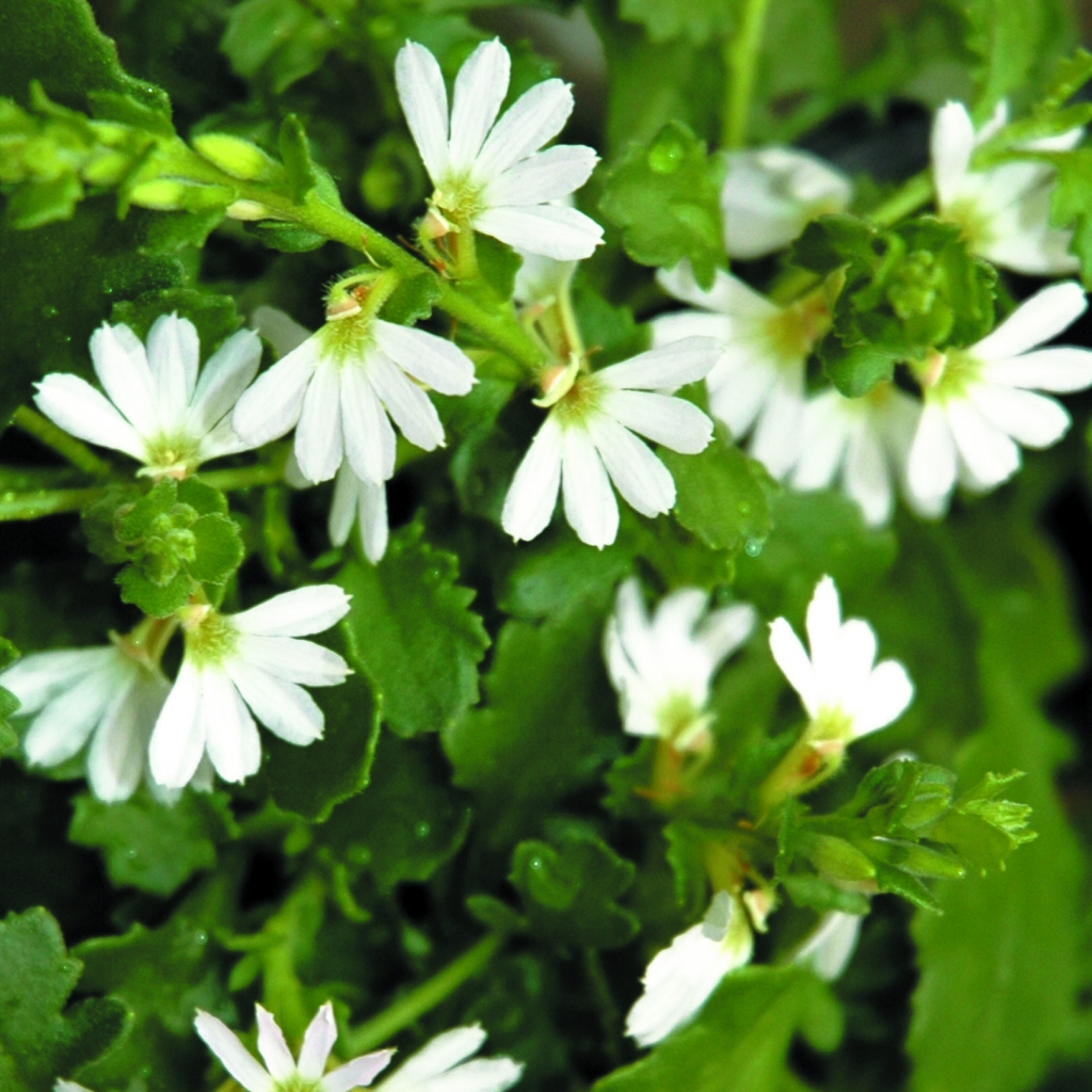 Scaevola Albida White Carpet Fan Flower Gardening