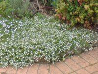 Scaevola albida fan flower 'White Carpet'