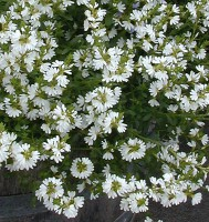 Scaevola albida - fan flower 'White Mist'