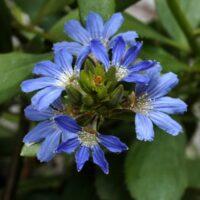 scaevola-nitida_fan-flower_aussie-spirit