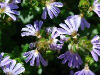scaevola-x_fan-flower_edna-walling-fan-tastic